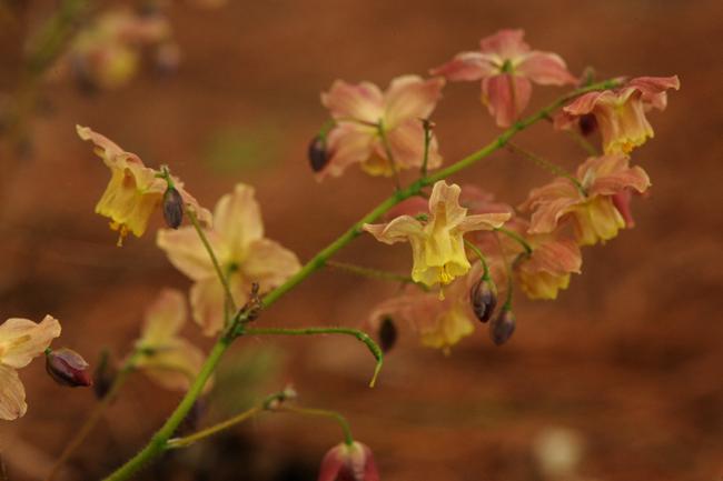 Epimedium versicolor