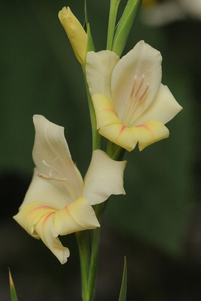 Gladiolus 'Boone'