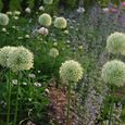 Allium 'Mount Everest' with nepeta