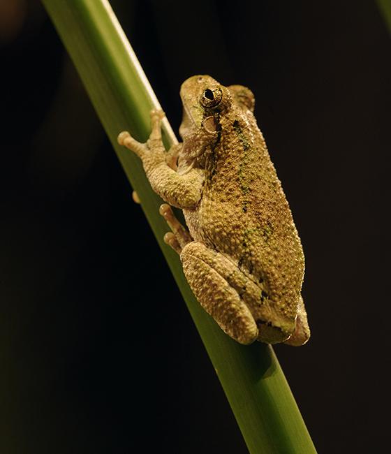 Gray tree frog1