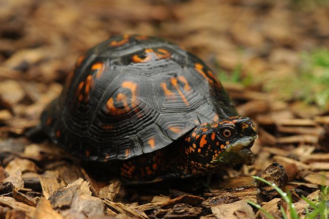 Box turtle eating slug