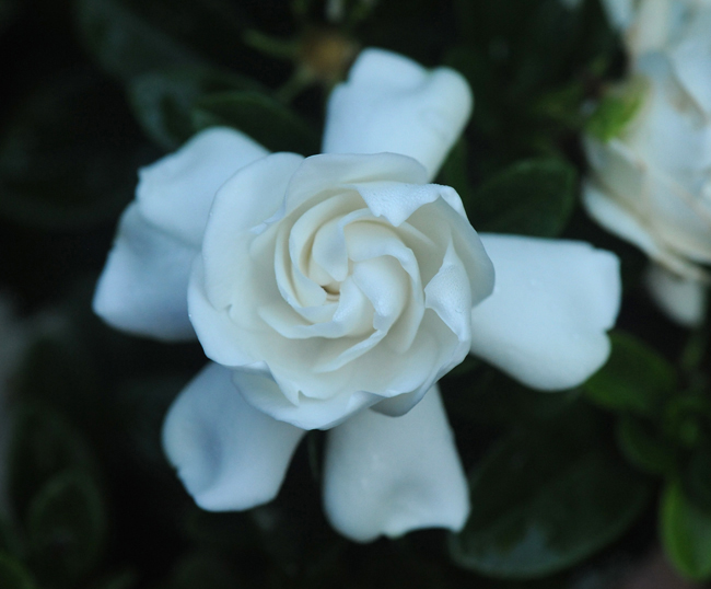 Gardenia x 'Crown Jewel'