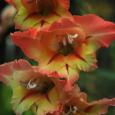 Gladiolus mexicana 1