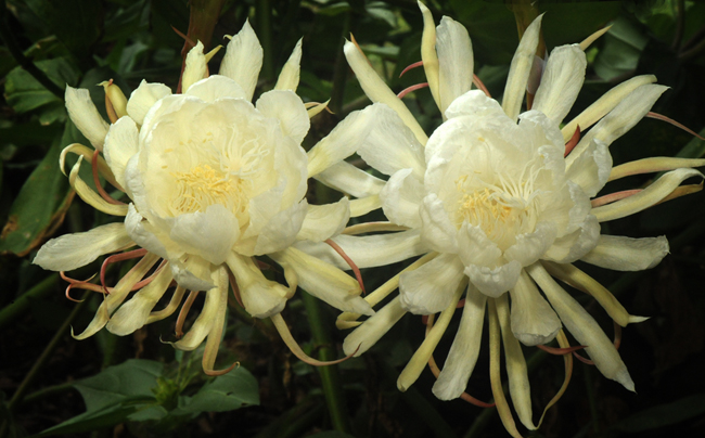 Night blooming cereus comparison species with 'Mark Twain' for projection