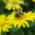 Doronicum with bumble bee