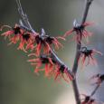 Hamamelis intermedia 'Agnes'