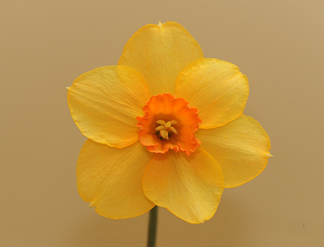 Daffodil 'Doctor Jazz'