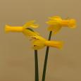 Daffodil 'Flyaway'