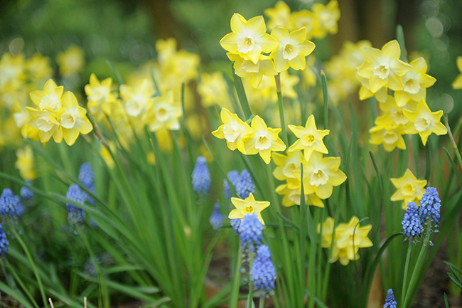 Daffodil with muscari