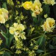 Tulip 'Akebono' with Daffodil 'Hawera'