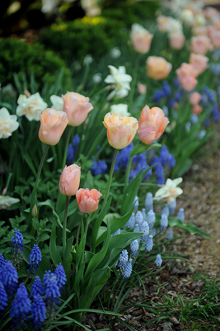 Tulip 'Apricot Beauty' at Eastwood