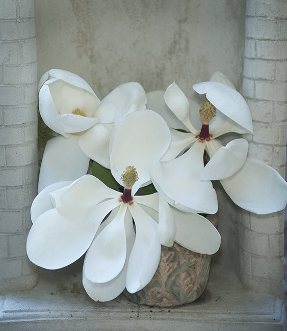 Magnolia grandiflora as a cut flower