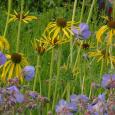 Echinacea paradoxa and geranium