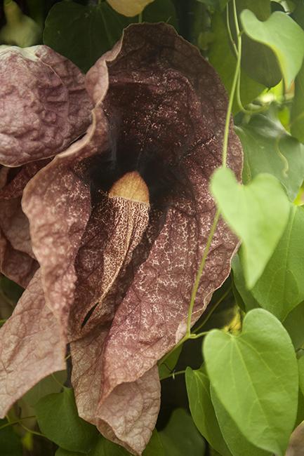 Aristilochia gigantea