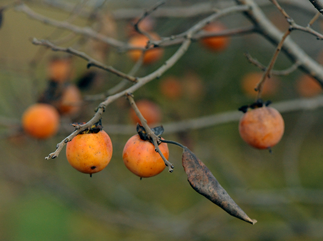 Persimmon fruit or Diospyros virginiana 1