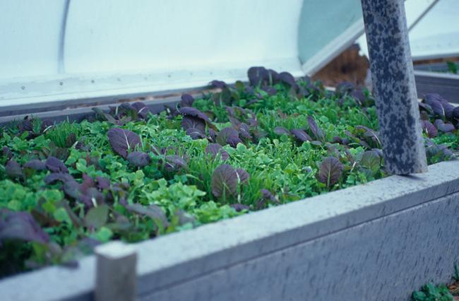 Lettuce in pod