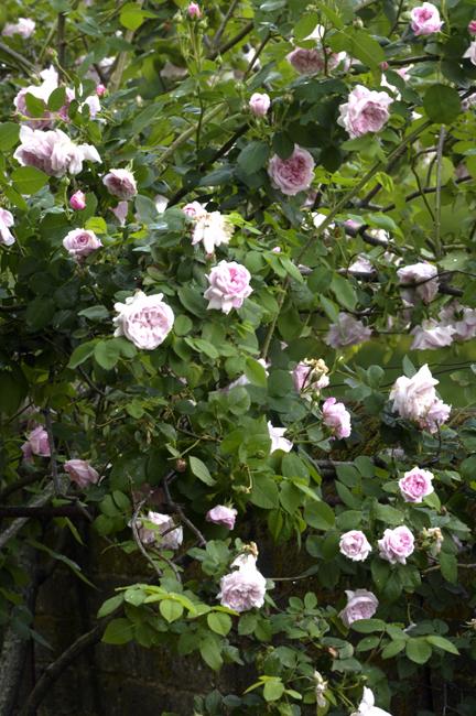 Rose 'Fantin Latour'