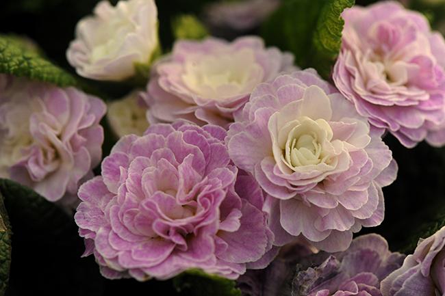 Primula 'Belarina Pink Ice'