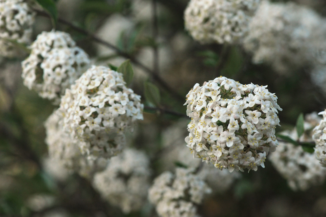 Viburnum burwoodii