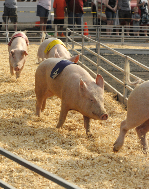 Racing pigs at the Fauquier County Fair