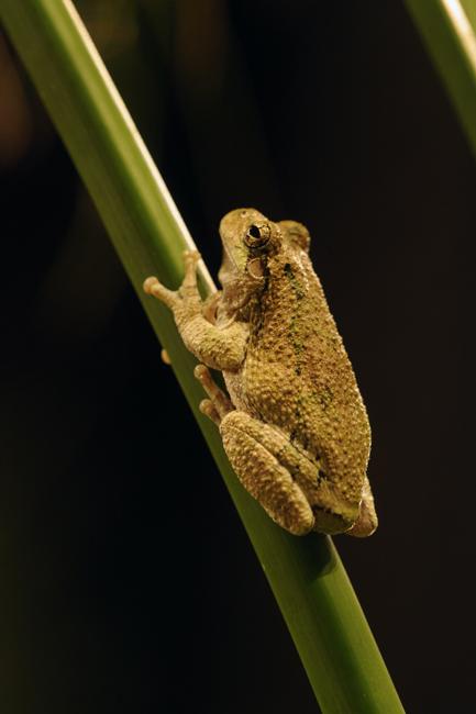 Spring peeper frog 1