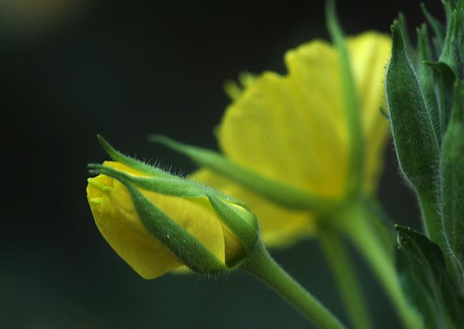 Oenothera glazoviana opening