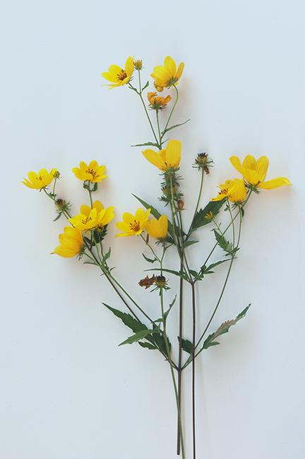 Bidens aristosa or tickseed sunflower