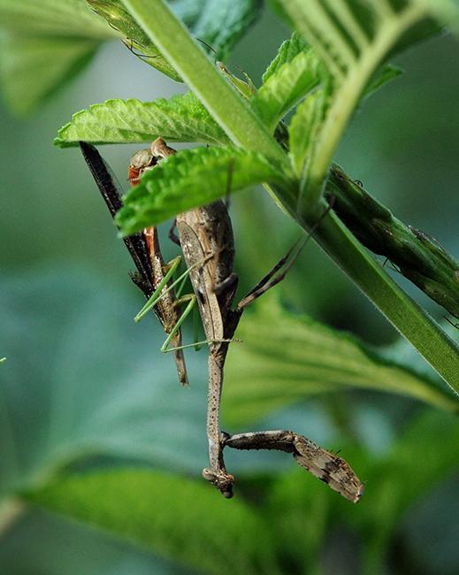 Carolina mantis with headless mate