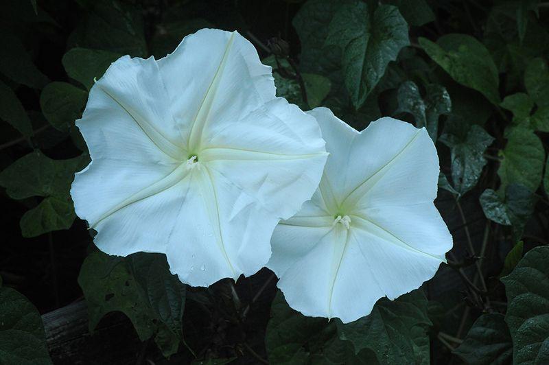 Moonvine flowers