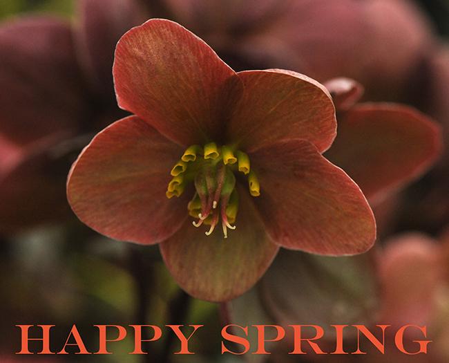 Happy Spring with helleborus