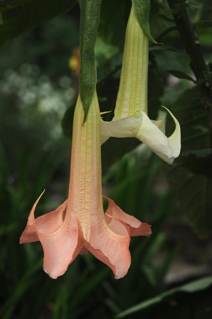 Brugmansia 'Ecuadorian Pink'