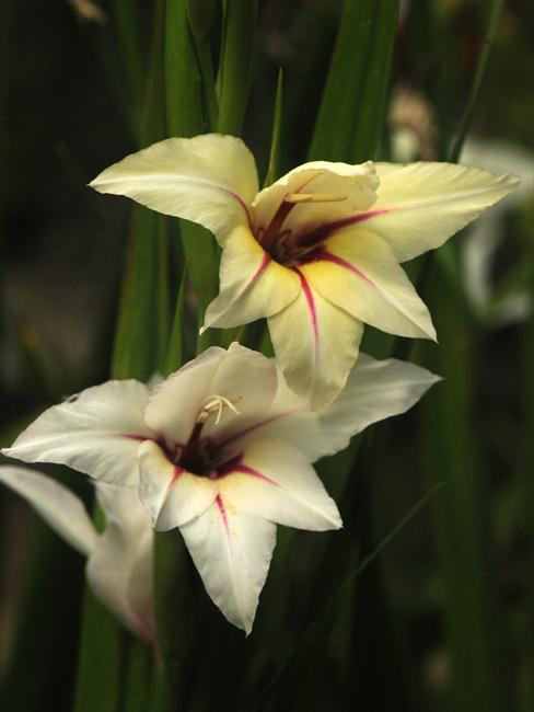 Gladiolus x 'Lucky Star'