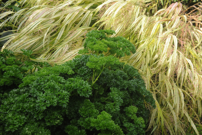 Parsley with hackonechloa