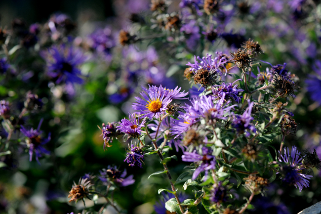 Asters in fall in Canada