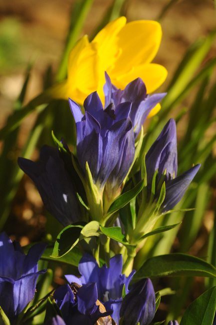 Gentiana x 'True Blue' with sternbergia