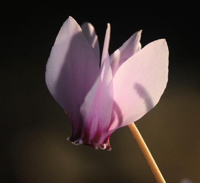 Cyclamen hederifolium in October