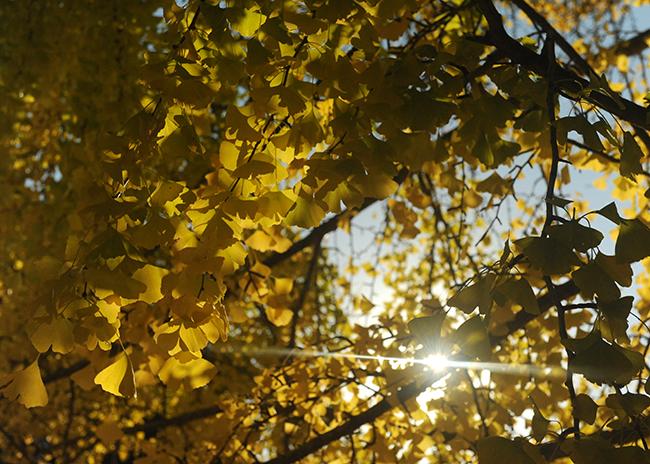 Ginkgo foliage in fall