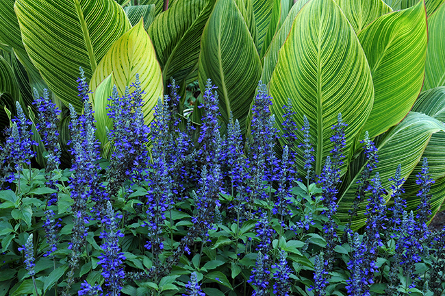 Canna 'Bengal Tiger' with Salvia 'Indigo Spires'
