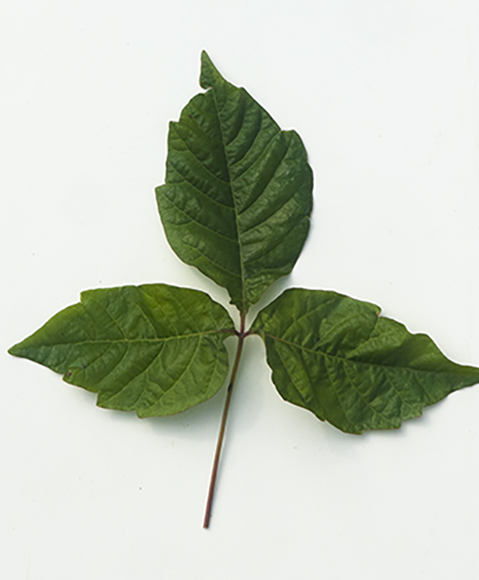 Poison ivy or Toxicodendron radicans
