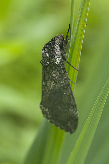 Hawk moth waking up