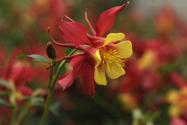 Aquilegia 'Music Red and Gold'