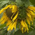 Sunflower head fused