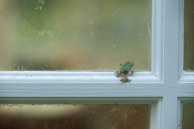 Baby tree frog at studio door