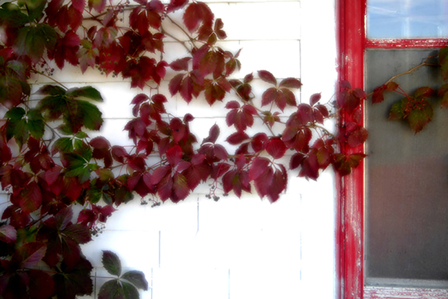 Red creeper on white house