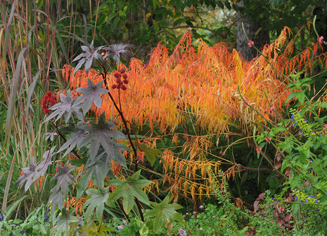 Rhus tiger eye and ricinus