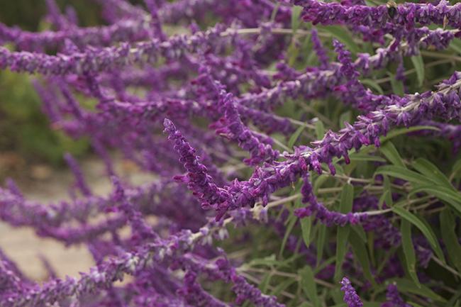 Salvia leucantha 'All Purple'