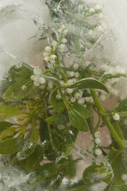 Mistletoe in ice