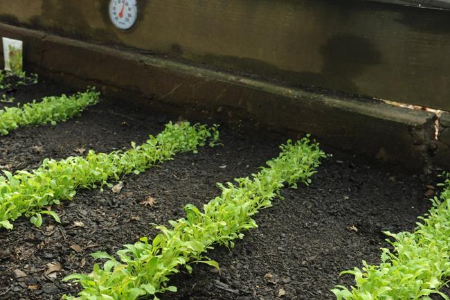 Lettuce in cold frames