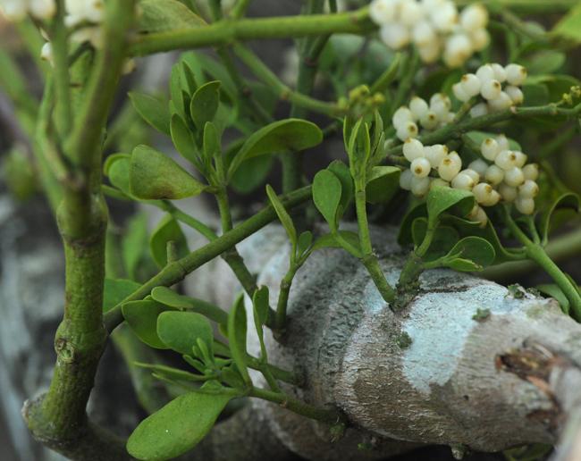 Mistletoe growing out of maple branch
