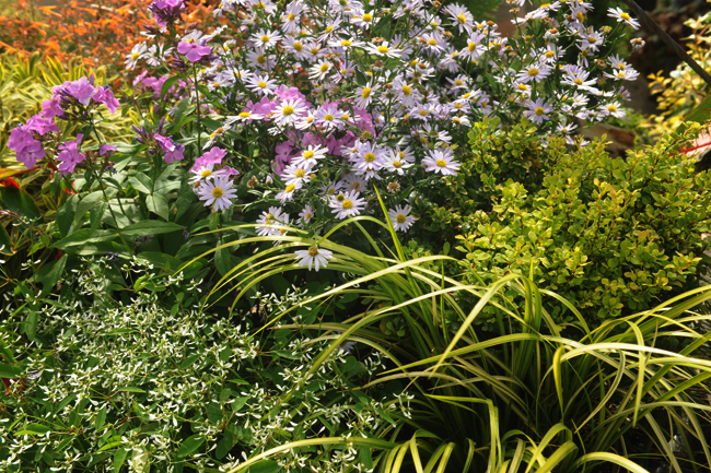 Euphorbia 'Diamond Frost' with phlox and asteromia